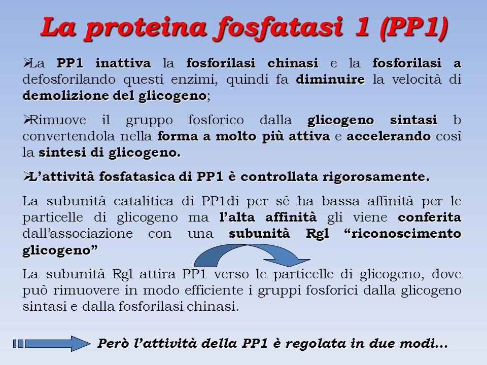 La proteina fosfatasi 1 (PP1)
