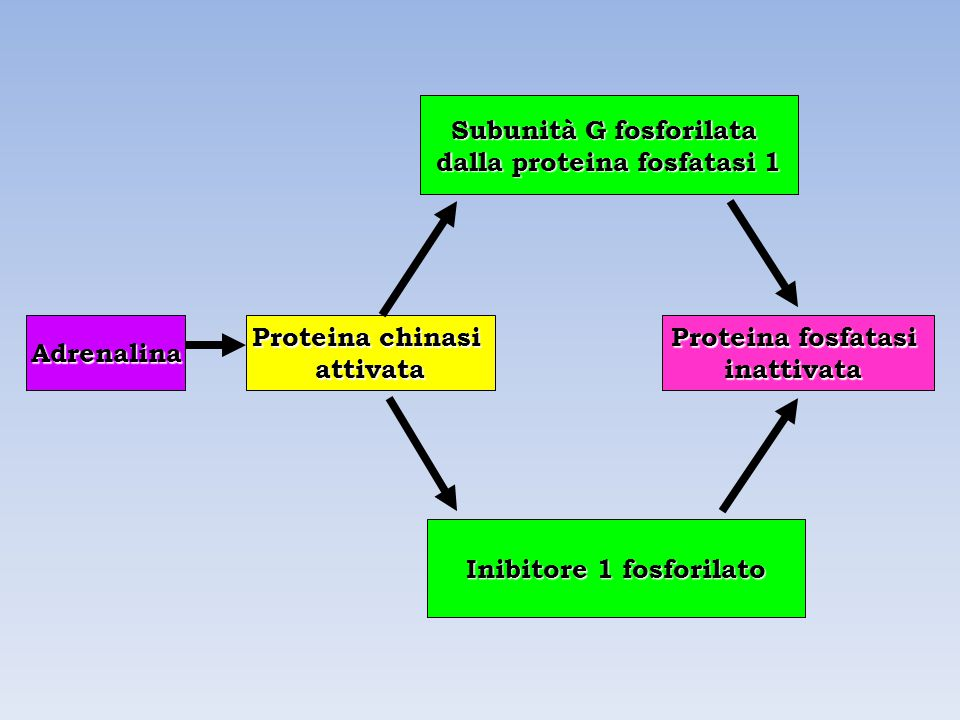 Subunità G fosforilata dalla proteina fosfatasi 1
