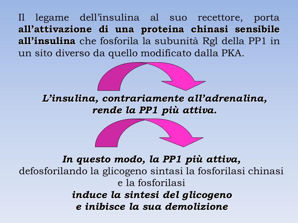 L'insulina, contrariamente all'adrenalina, rende la PP1 più attiva.