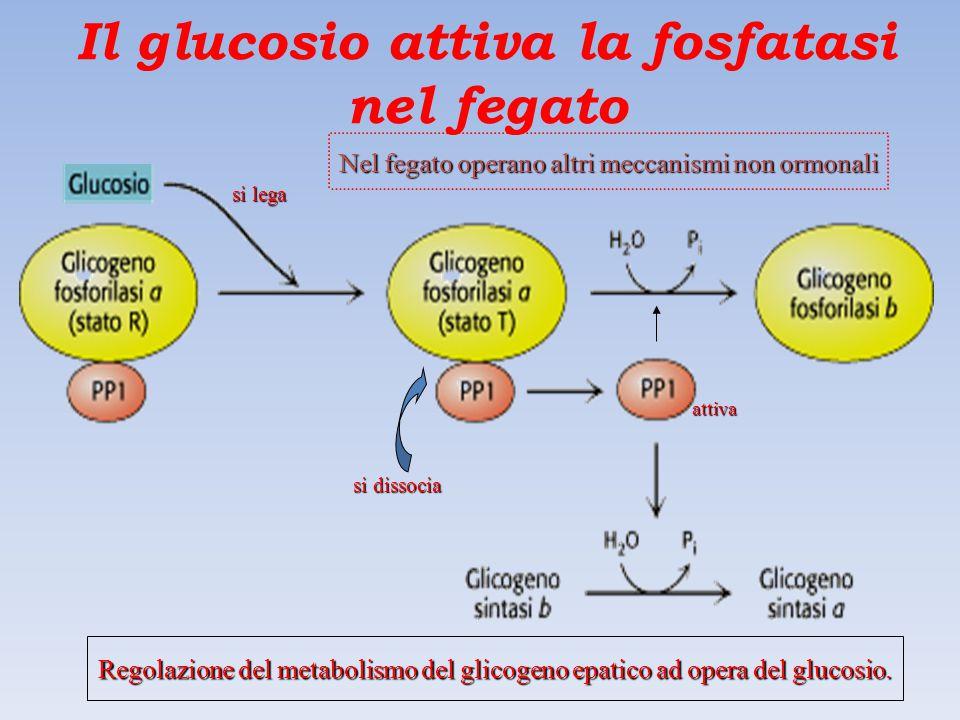 Il glucosio attiva la fosfatasi nel fegato