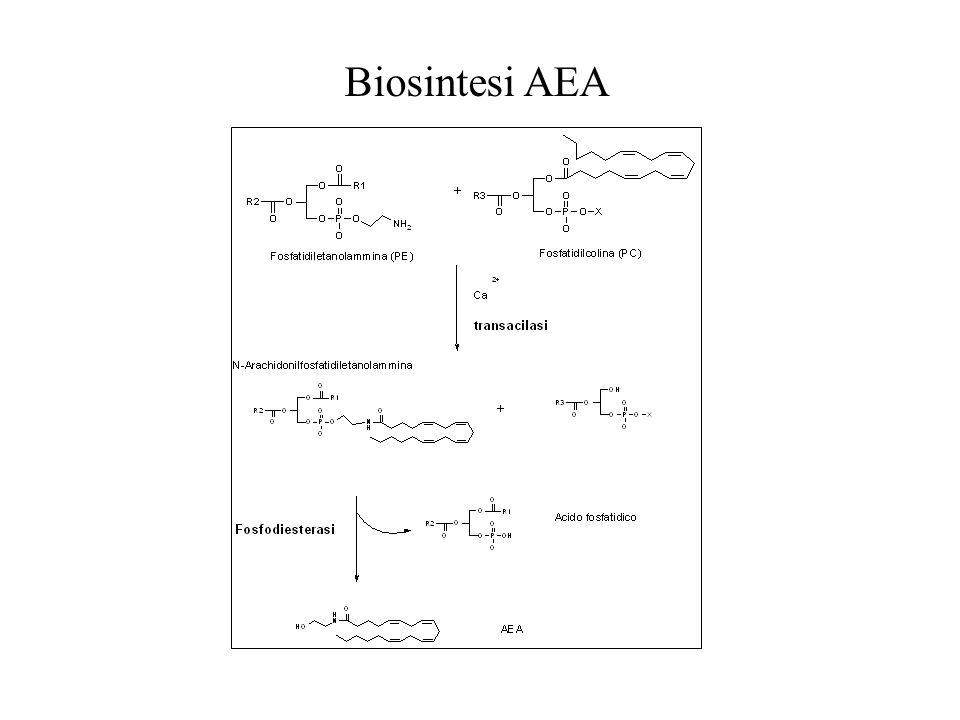 Biosintesi AEA