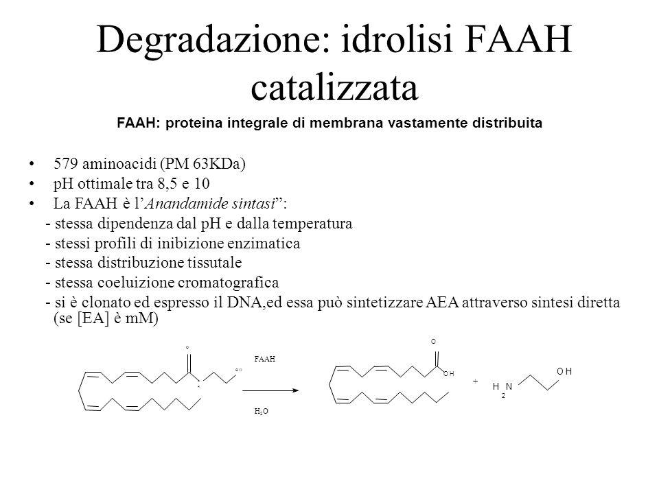Degradazione: idrolisi FAAH catalizzata