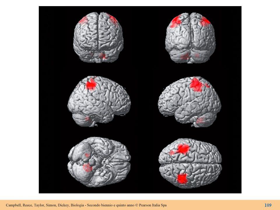 Figura 14.16 Le aree evidenziate dalla fMRI nell'encefalo di un paziente a cui è stato chiesto di toccarsi il pollice con il dito medio.
