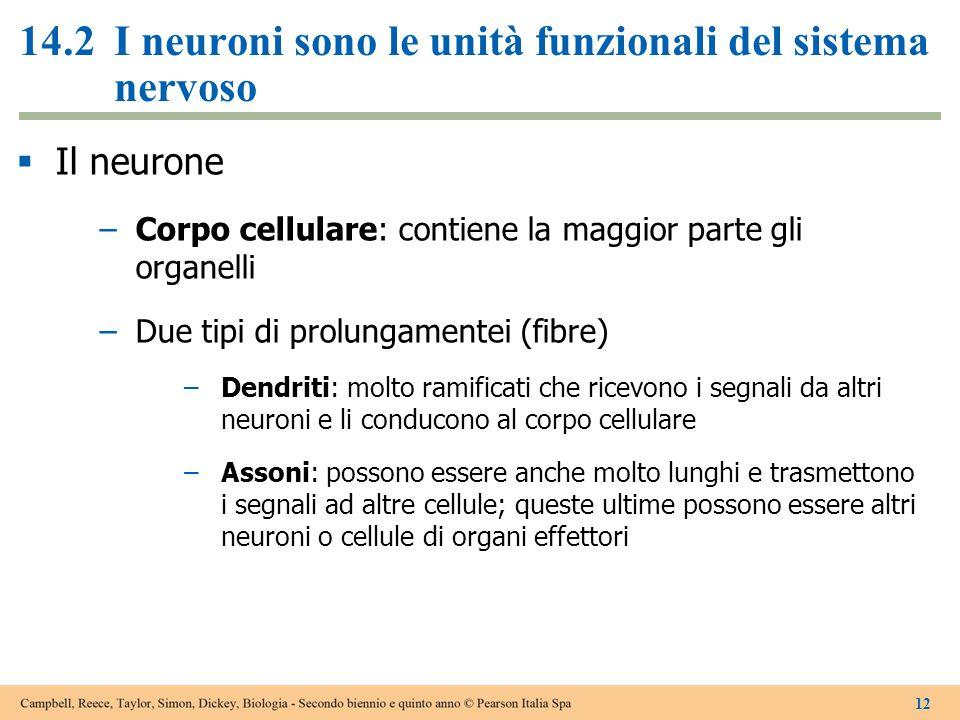 14.2 I neuroni sono le unità funzionali del sistema nervoso