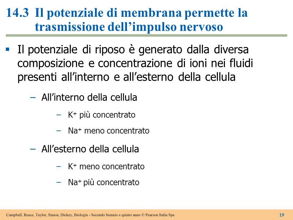 14.3 Il potenziale di membrana permette la trasmissione dell'impulso nervoso