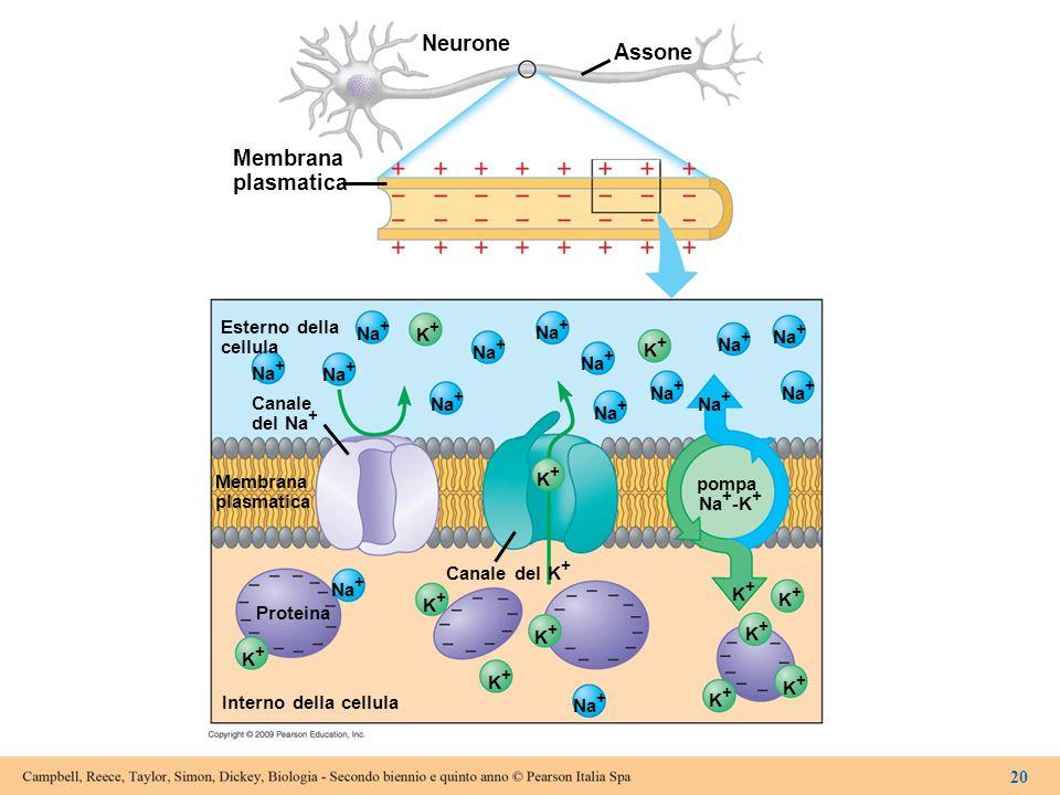 Neurone Assone Membrana plasmatica Esterno della Na+ K+ cellula Canale