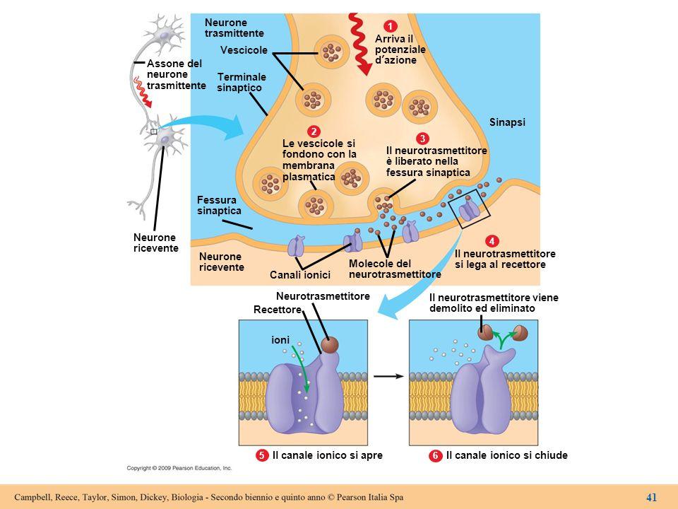 Neurone trasmittente. 1. 2. 3. 4. 6. 5. Assone del. neurone. Vescicole. Terminale. sinaptico.
