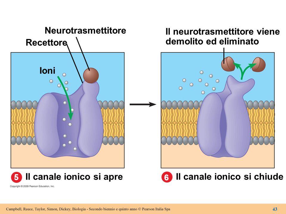 Il neurotrasmettitore viene demolito ed eliminato Recettore