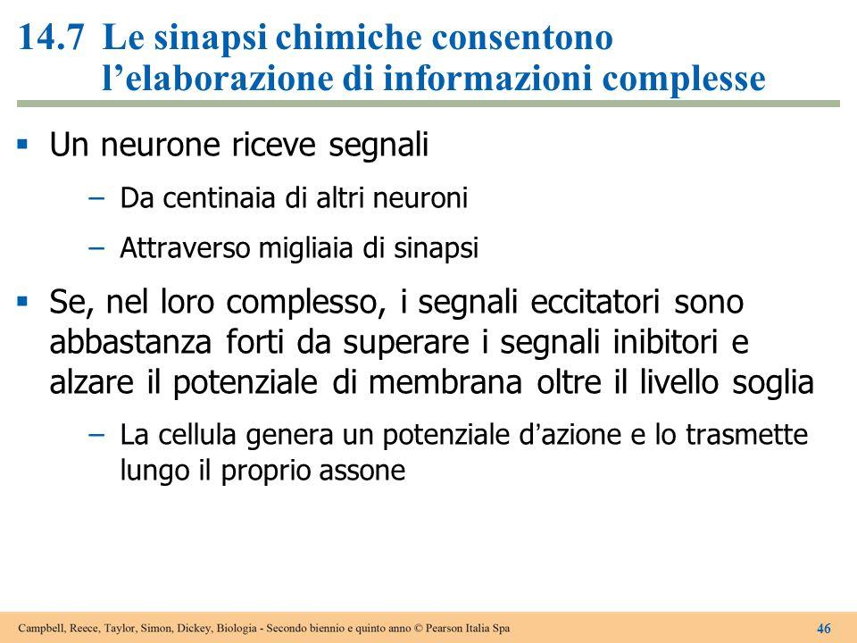 14.7 Le sinapsi chimiche consentono l'elaborazione di informazioni complesse
