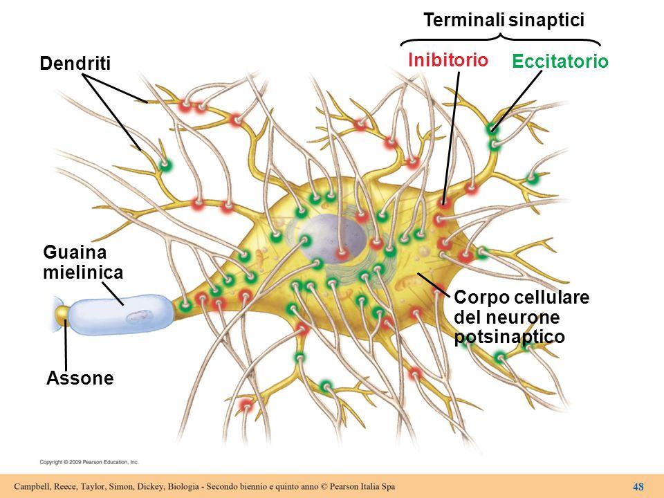 Terminali sinaptici Inibitorio Dendriti Eccitatorio Guaina mielinica