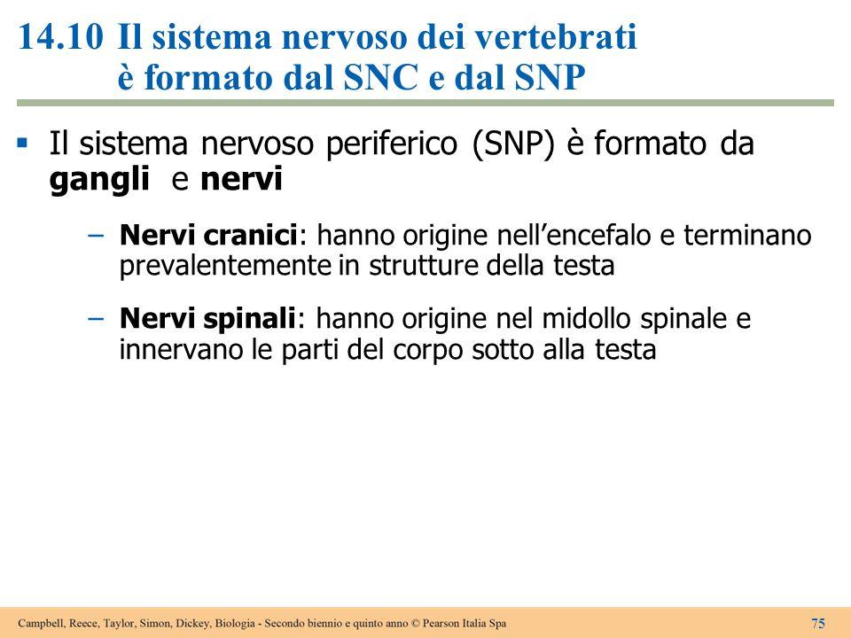 14.10 Il sistema nervoso dei vertebrati è formato dal SNC e dal SNP