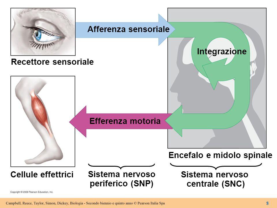 Sistema nervoso periferico (SNP) Sistema nervoso centrale (SNC)