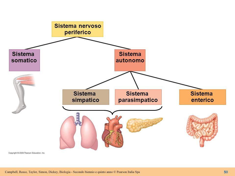 Sistema nervoso periferico Sistema somatico Sistema autonomo Sistema