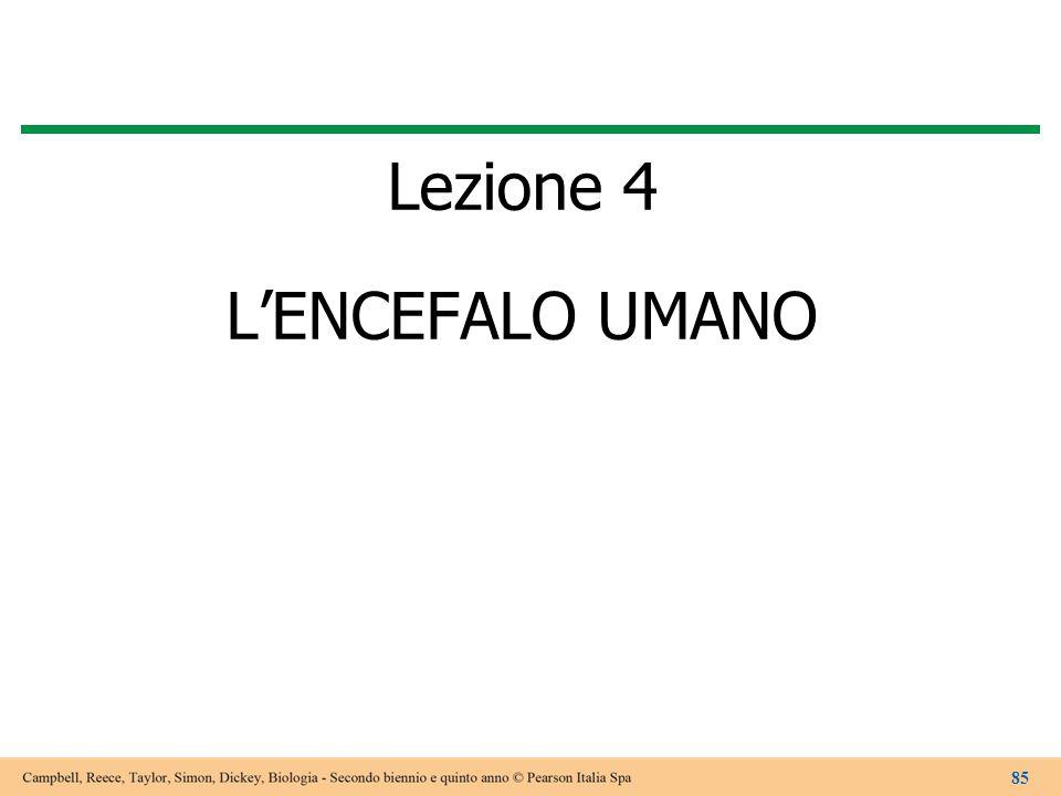 Lezione 4 L'ENCEFALO UMANO