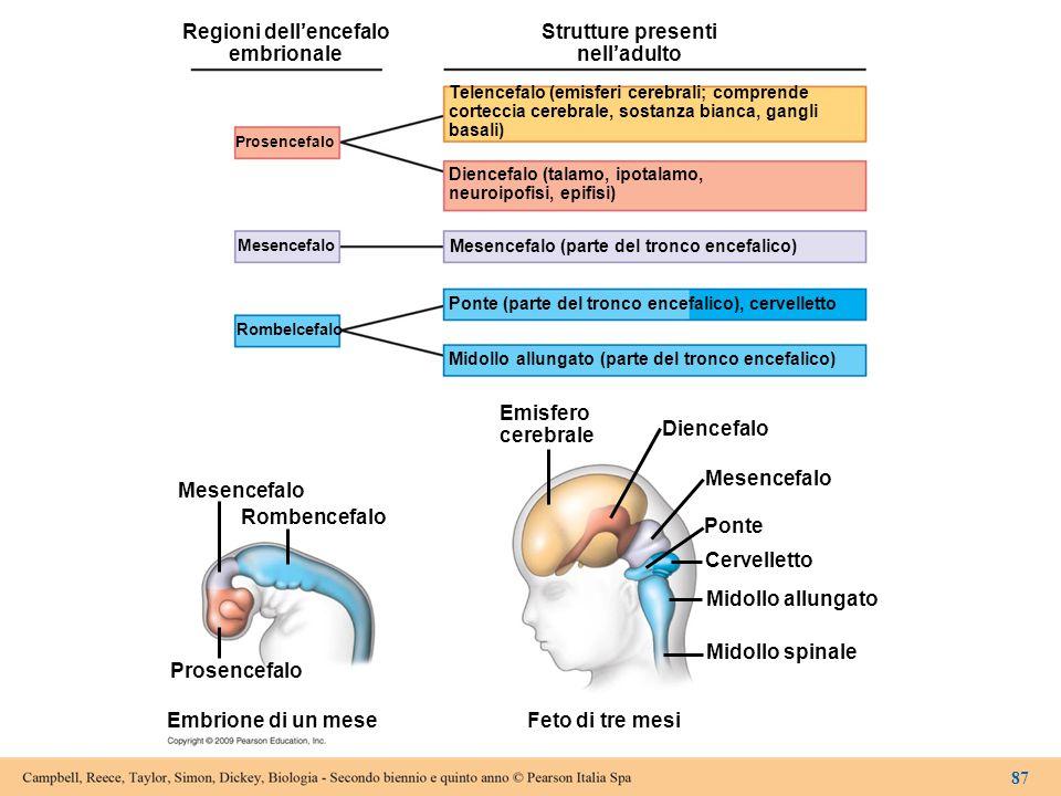 Regioni dell'encefalo