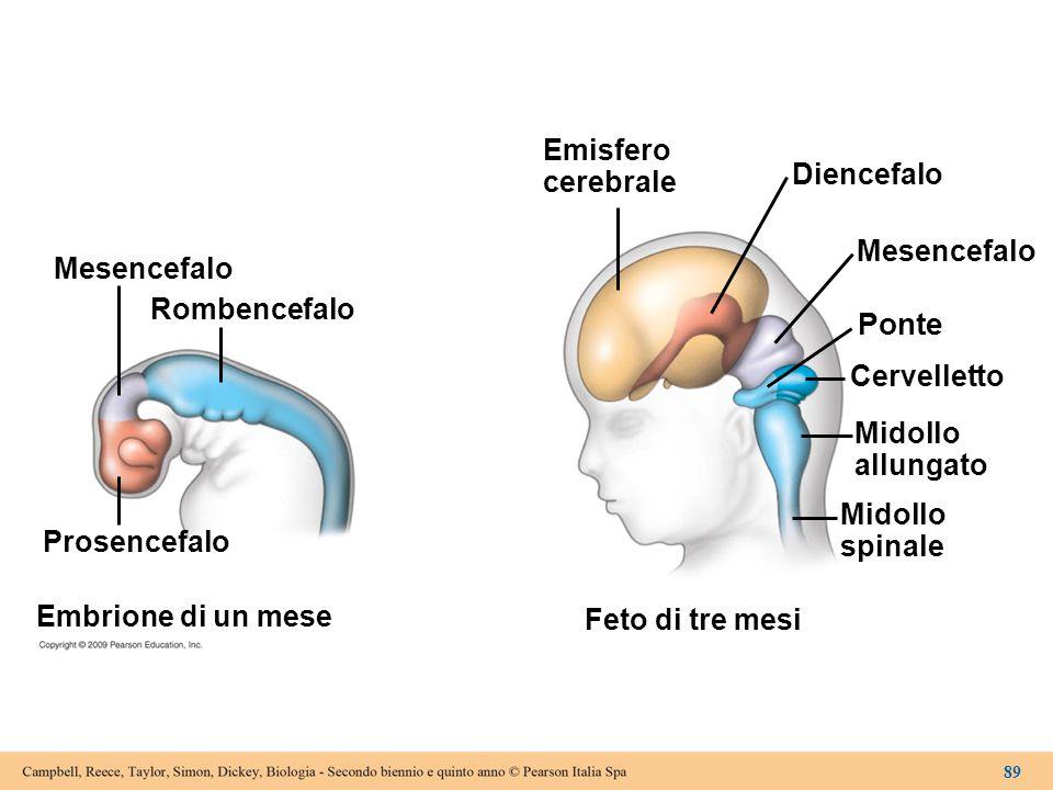 Ponte Emisfero cerebrale Diencefalo Mesencefalo Mesencefalo