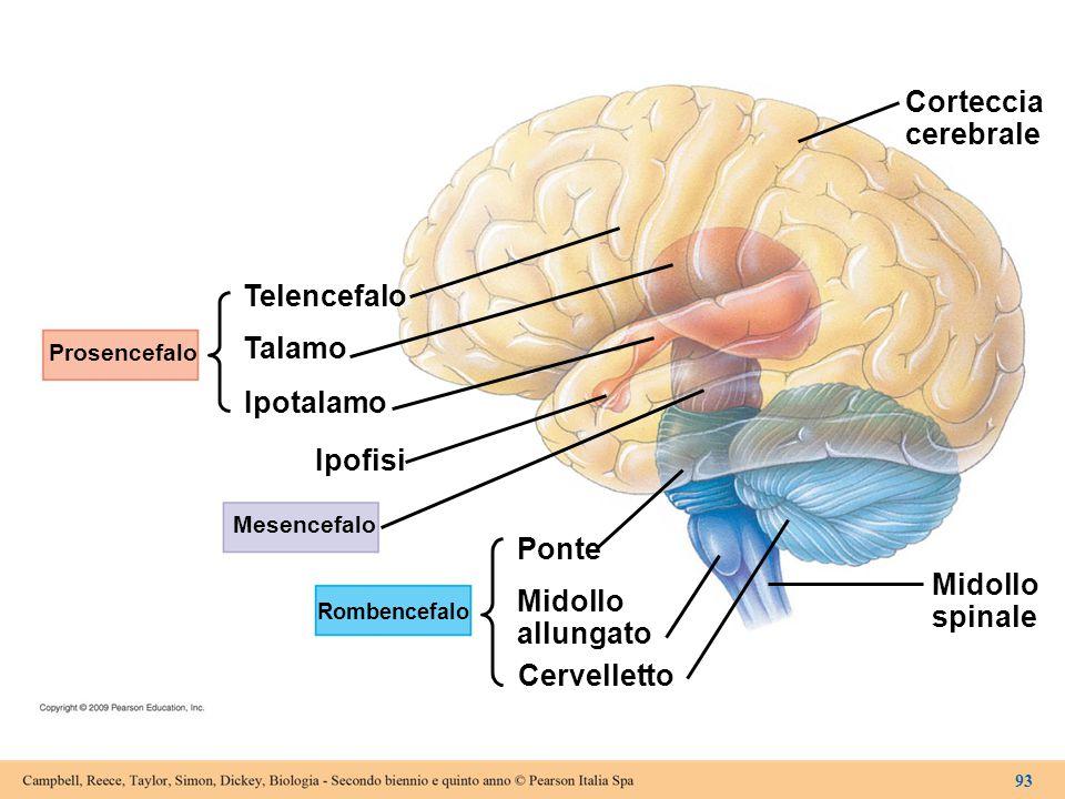 Corteccia cerebrale Telencefalo Talamo Ipotalamo Ipofisi Ponte Midollo