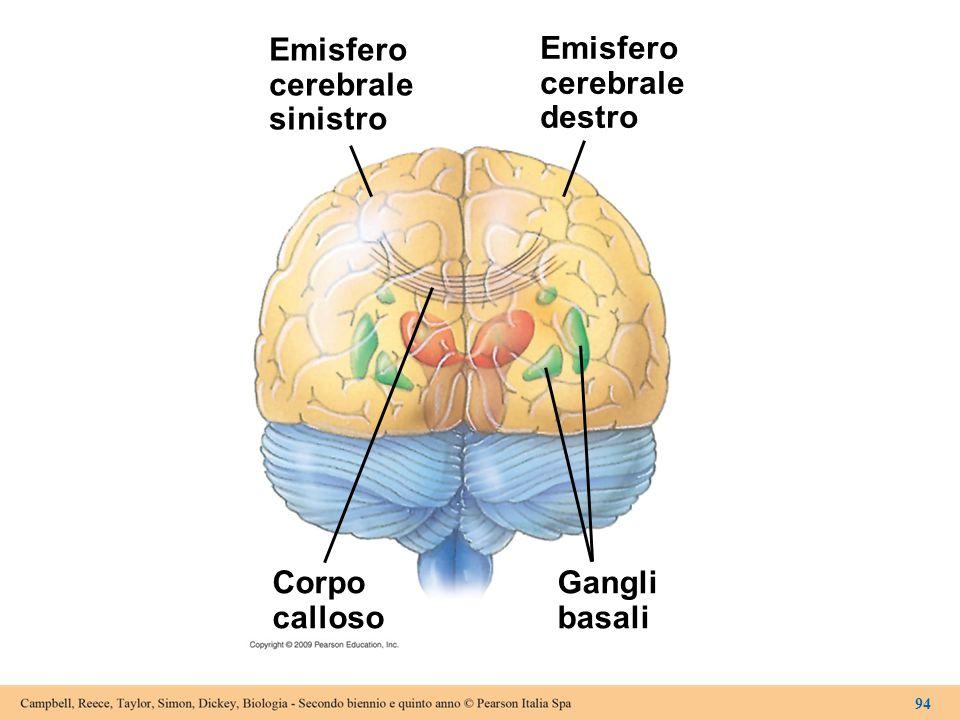 Emisfero cerebrale sinistro Emisfero cerebrale destro Corpo calloso
