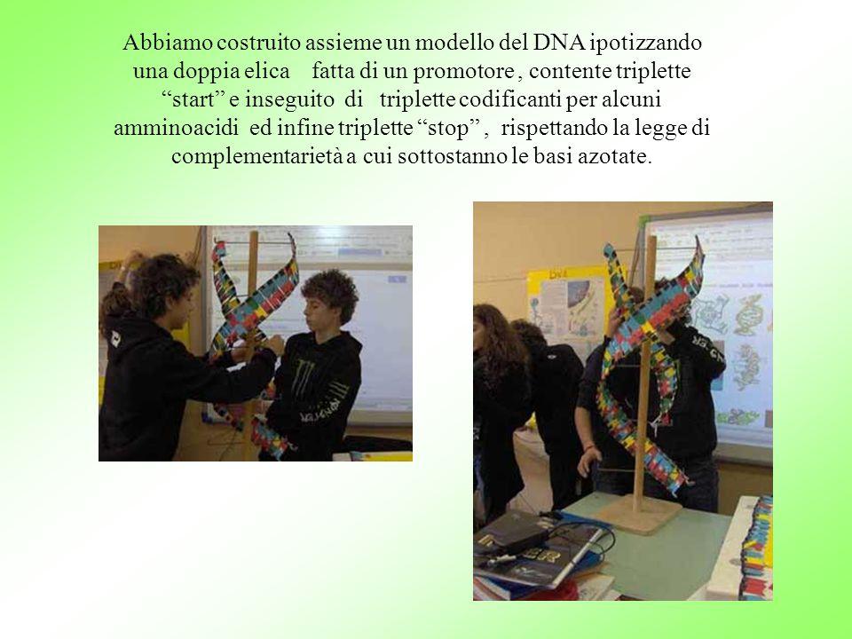 Abbiamo costruito assieme un modello del DNA ipotizzando una doppia elica fatta di un promotore , contente triplette start e inseguito di triplette codificanti per alcuni amminoacidi ed infine triplette stop , rispettando la legge di complementarietà a cui sottostanno le basi azotate.