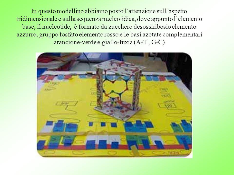 In questo modellino abbiamo posto l'attenzione sull'aspetto tridimensionale e sulla sequenza nucleotidica, dove appunto l'elemento base, il nucleotide, è formato da zucchero desossiribosio elemento azzurro, gruppo fosfato elemento rosso e le basi azotate complementari arancione-verde e giallo-fuxia (A-T , G-C)