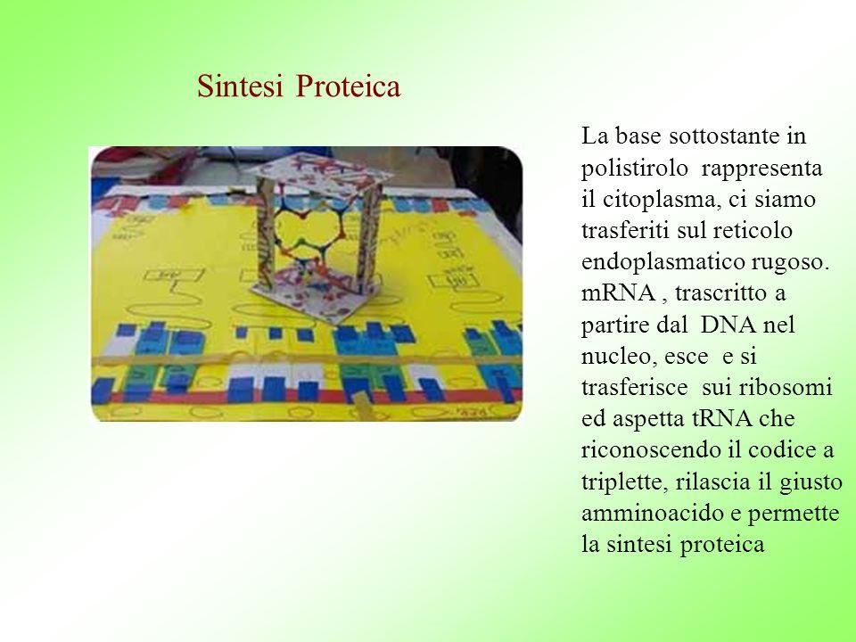 Sintesi Proteica La base sottostante in polistirolo rappresenta