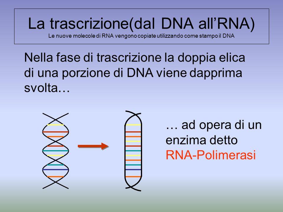 La trascrizione(dal DNA all'RNA) Le nuove molecole di RNA vengono copiate utilizzando come stampo il DNA