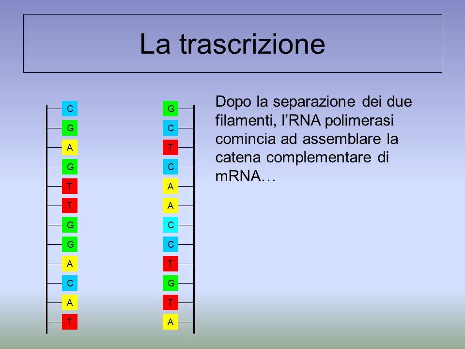 La trascrizione Dopo la separazione dei due filamenti, l'RNA polimerasi comincia ad assemblare la catena complementare di mRNA…