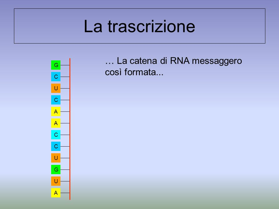 La trascrizione … La catena di RNA messaggero così formata... G C U A