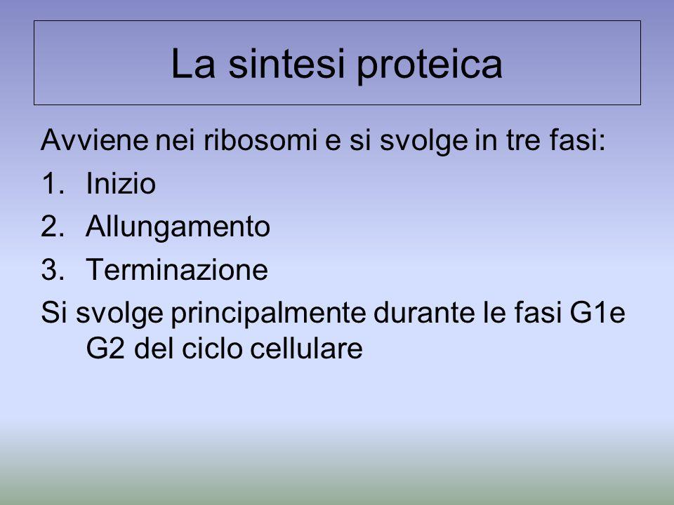 La sintesi proteica Avviene nei ribosomi e si svolge in tre fasi:
