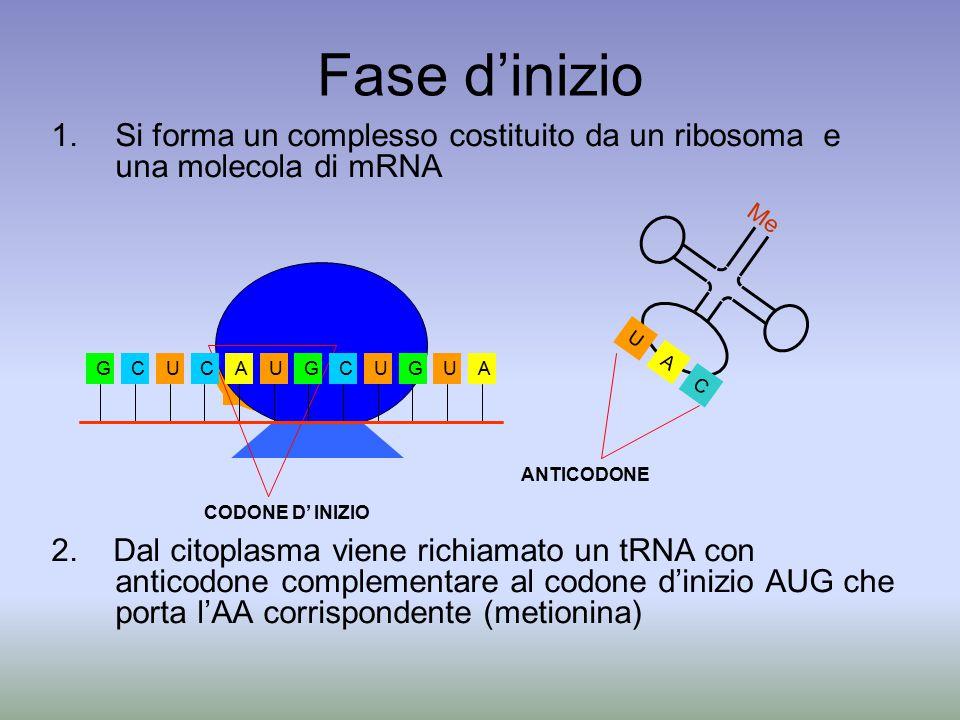 Fase d'inizio Si forma un complesso costituito da un ribosoma e una molecola di mRNA.