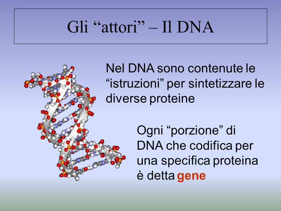 Gli attori – Il DNA Nel DNA sono contenute le istruzioni per sintetizzare le diverse proteine.