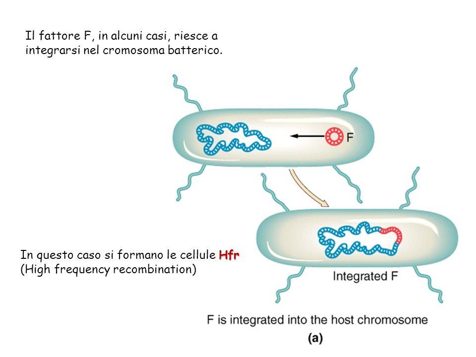 Il fattore F, in alcuni casi, riesce a integrarsi nel cromosoma batterico.