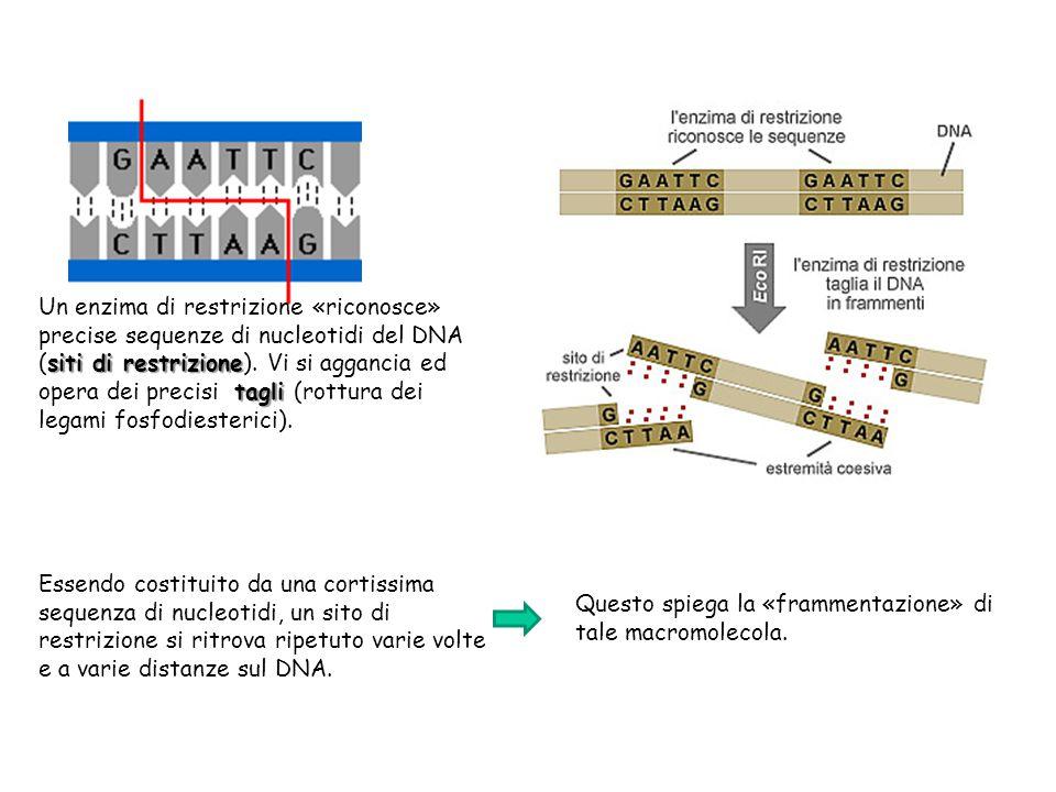 Un enzima di restrizione «riconosce» precise sequenze di nucleotidi del DNA (siti di restrizione). Vi si aggancia ed opera dei precisi tagli (rottura dei legami fosfodiesterici).