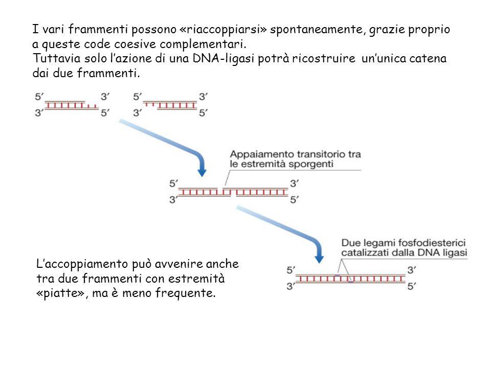I vari frammenti possono «riaccoppiarsi» spontaneamente, grazie proprio a queste code coesive complementari.
