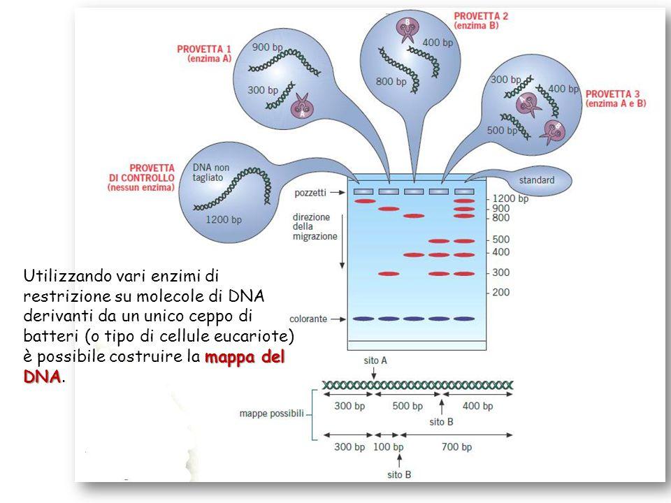 Utilizzando vari enzimi di restrizione su molecole di DNA derivanti da un unico ceppo di batteri (o tipo di cellule eucariote) è possibile costruire la mappa del DNA.