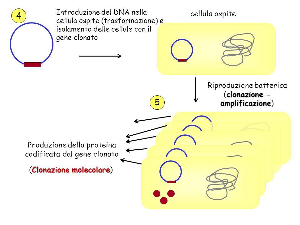 4 5 cellula ospite Riproduzione batterica (clonazione -amplificazione)