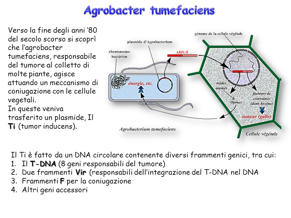 Agrobacter tumefaciens