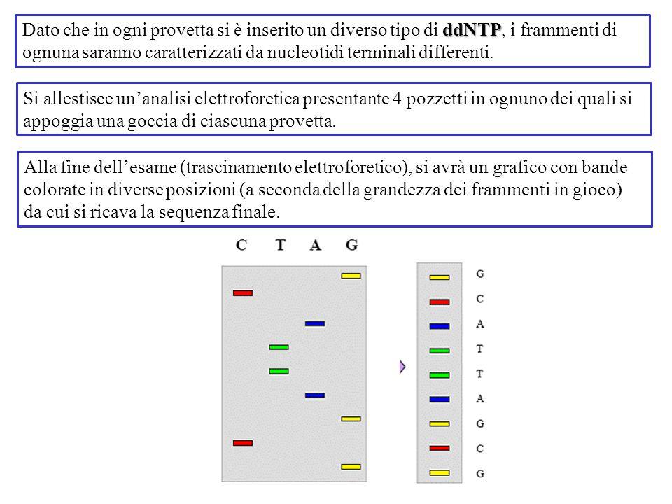 Dato che in ogni provetta si è inserito un diverso tipo di ddNTP, i frammenti di ognuna saranno caratterizzati da nucleotidi terminali differenti.