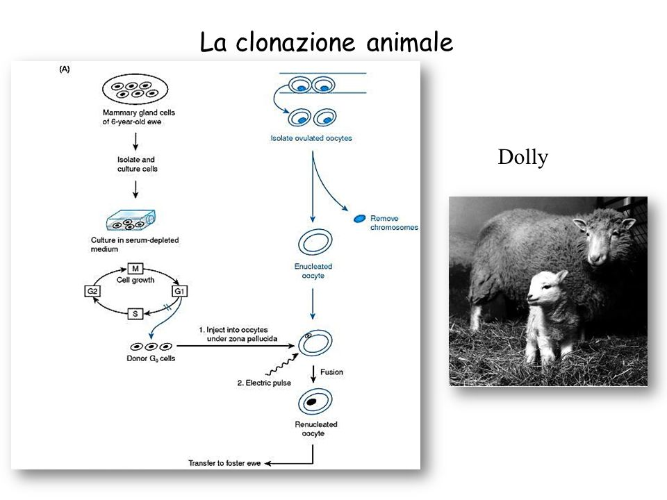 La clonazione animale Dolly