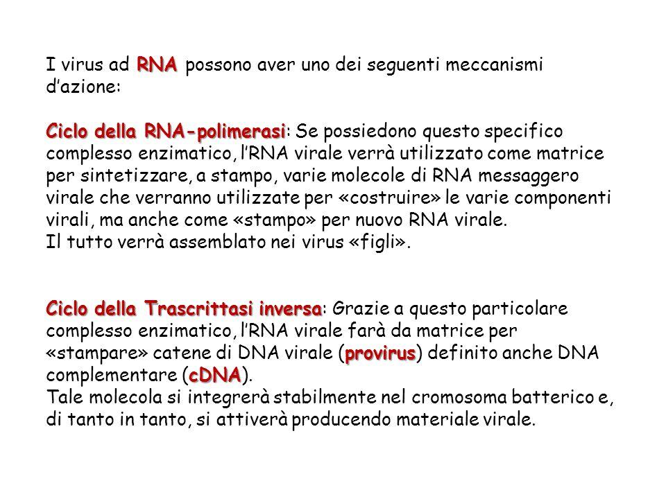 I virus ad RNA possono aver uno dei seguenti meccanismi d'azione: