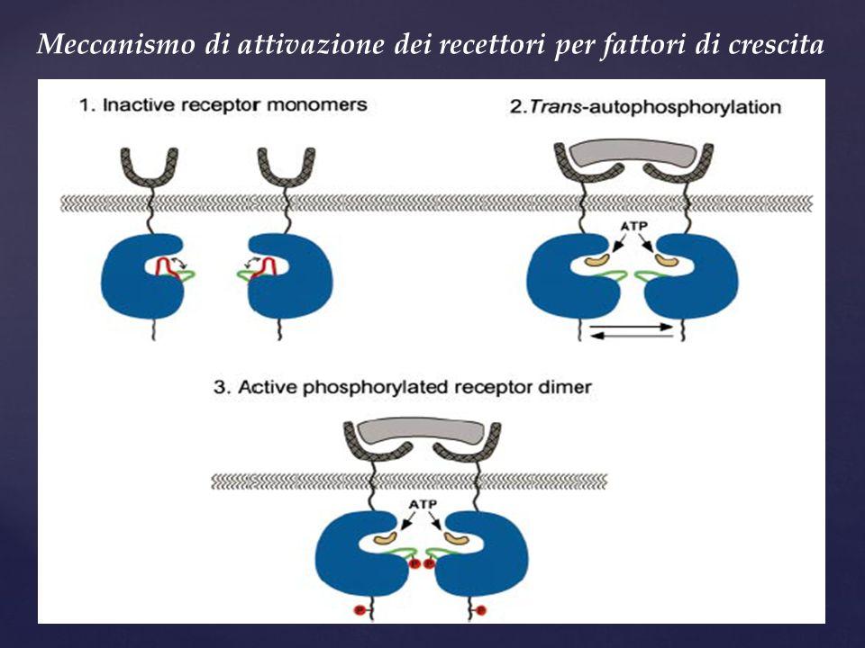 Meccanismo di attivazione dei recettori per fattori di crescita