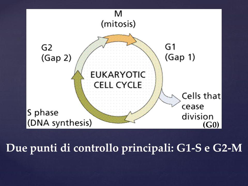 Due punti di controllo principali: G1-S e G2-M
