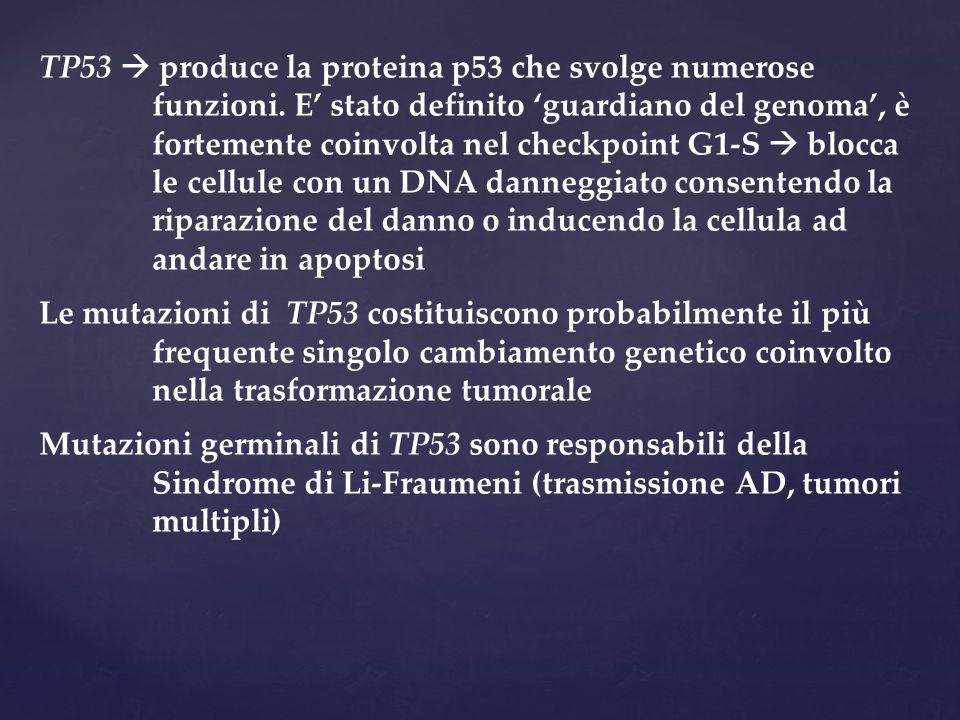 TP53  produce la proteina p53 che svolge numerose funzioni