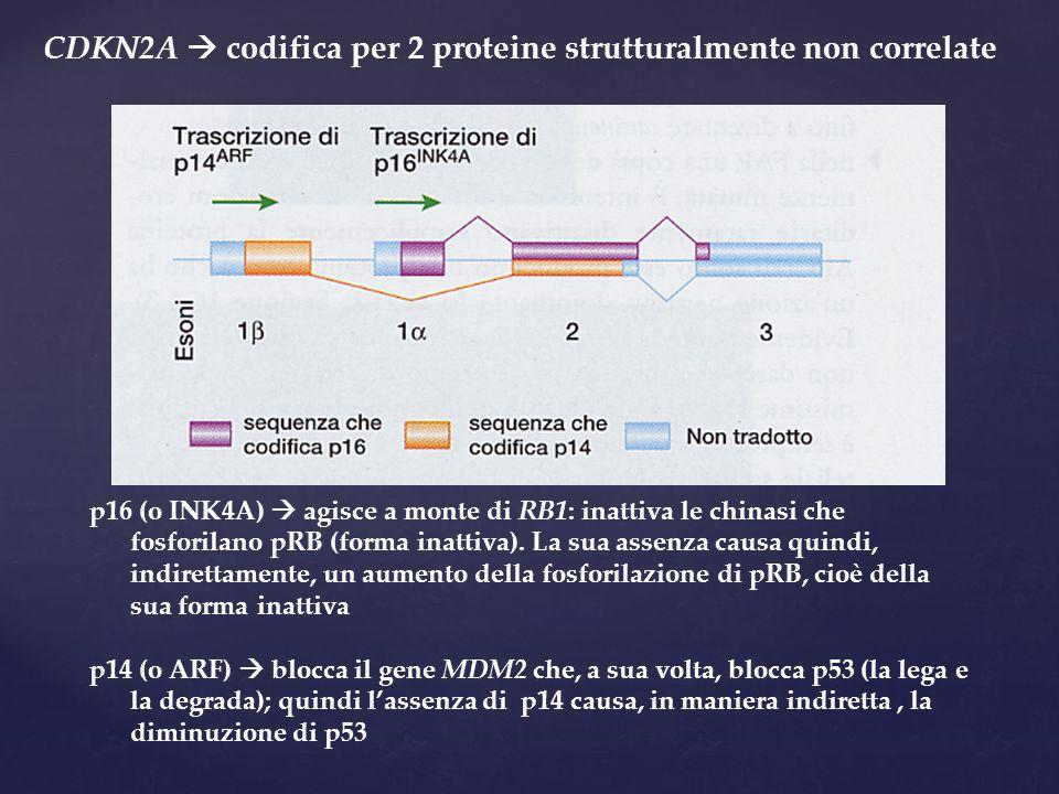 CDKN2A  codifica per 2 proteine strutturalmente non correlate