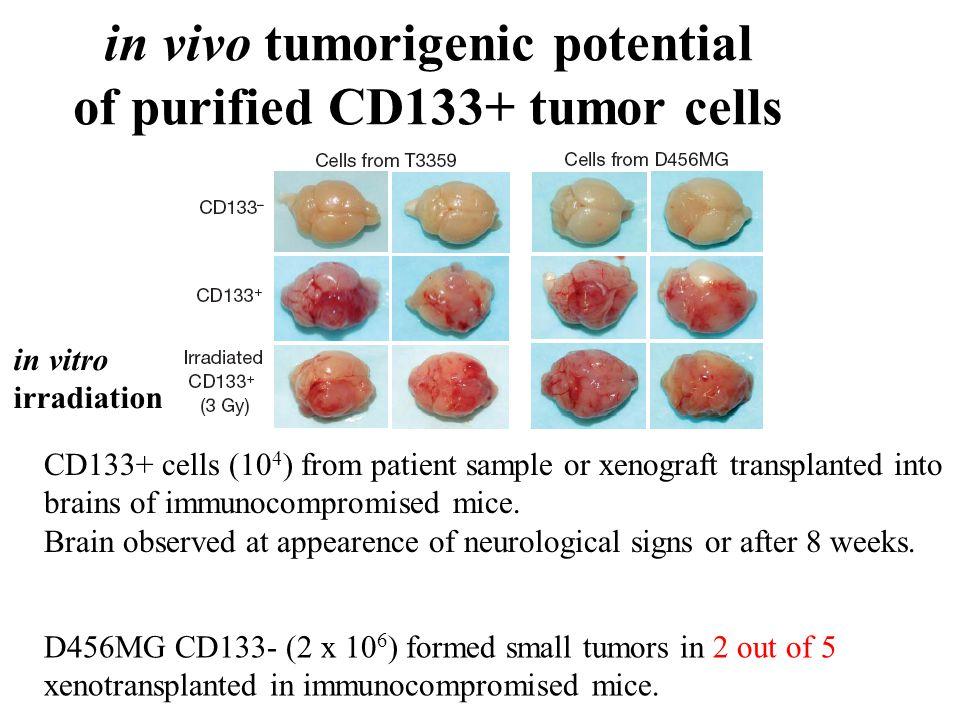 in vivo tumorigenic potential of purified CD133+ tumor cells