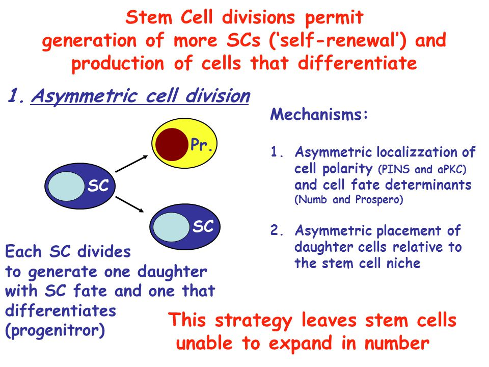 Stem Cell divisions permit Asymmetric cell division