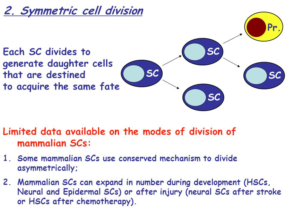 2. Symmetric cell division