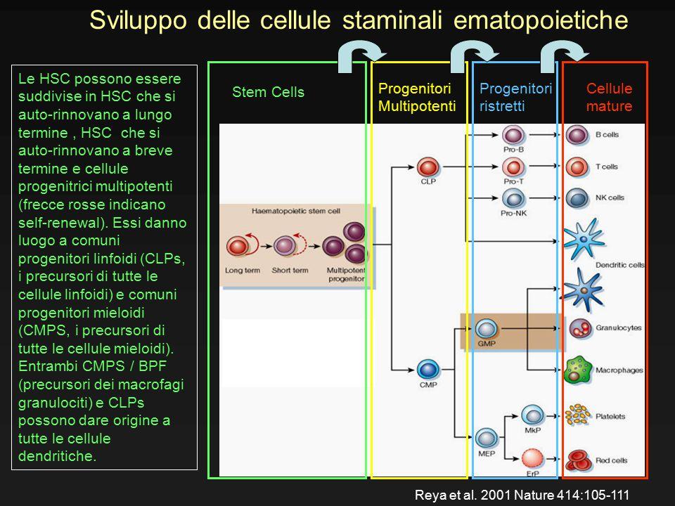 Sviluppo delle cellule staminali ematopoietiche