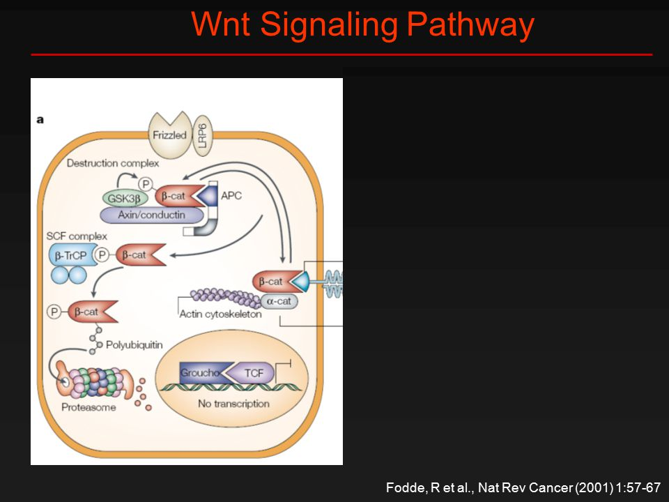 Wnt Signaling Pathway Fodde, R et al., Nat Rev Cancer (2001) 1:57-67