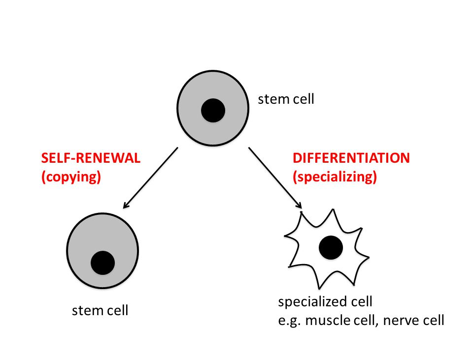stem cell stem cell. SELF-RENEWAL. (copying) specialized cell. e.g. muscle cell, nerve cell. DIFFERENTIATION.